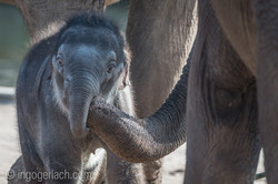 Baby_elephant_Zoo_Cologne_D50_2814