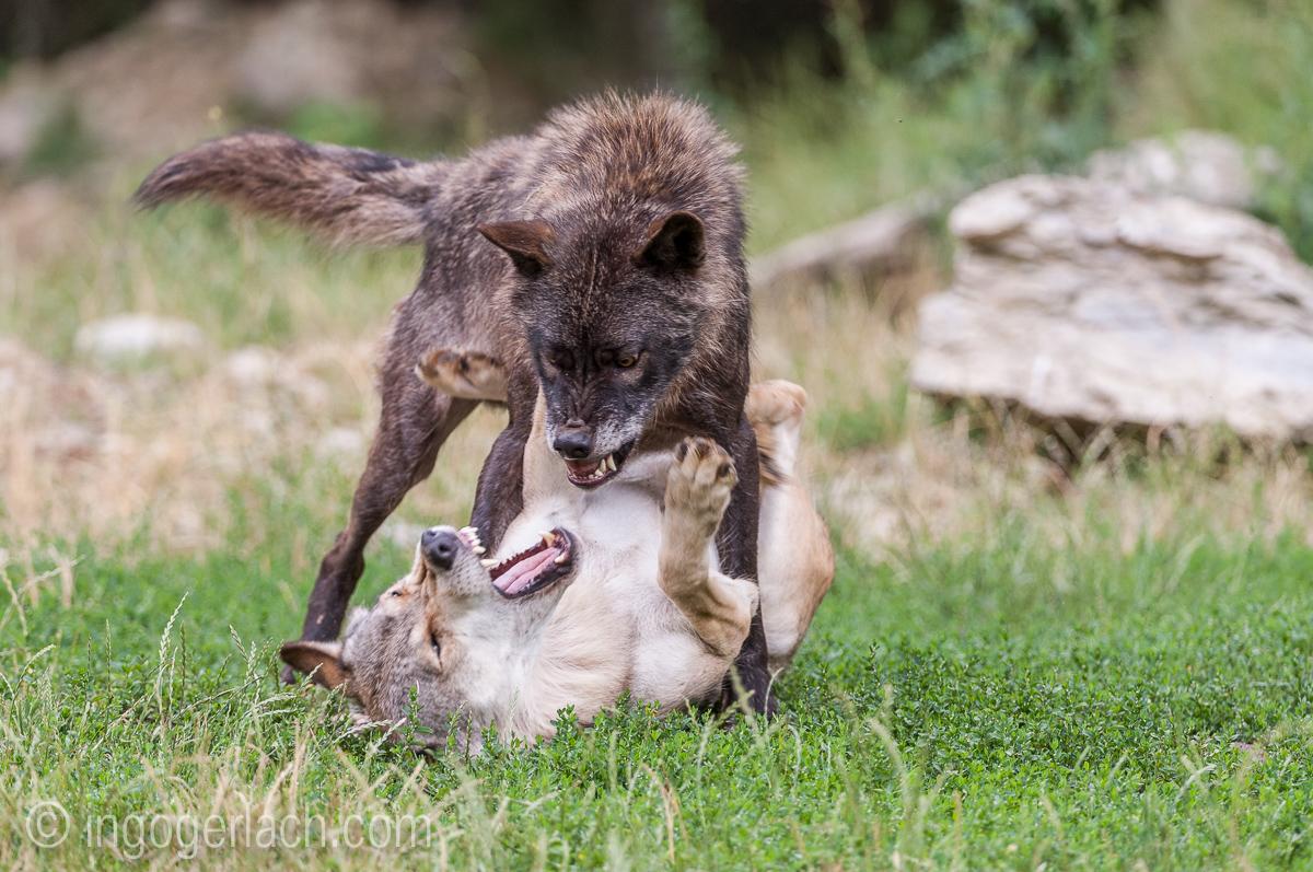 Timberwolf und Grauwolf_IGB8090
