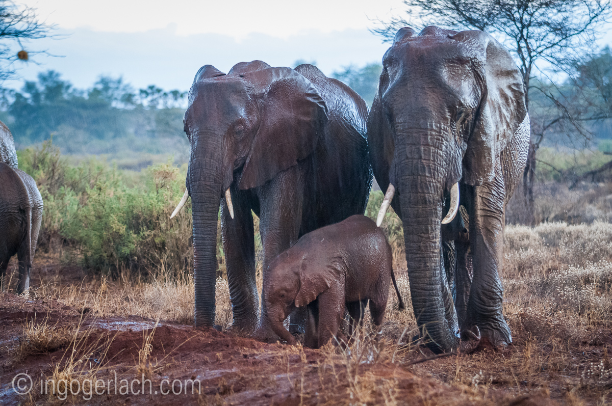 Elefanten im Regen_IGB7689