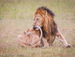 Der flexible Löwe... | The flexible lion ...
