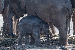 Baby_elephant_Zoo_Cologne_D50_2734