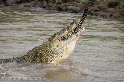 Krokodil frisst Zebra_D726835