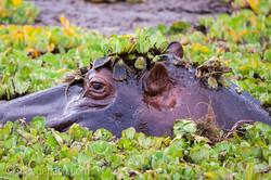 Flusspferd im Salat_IGB4540