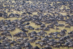 The great Migration | Masai Mara