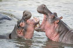 Hippos palavern_D3S7784