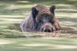 Wildschwein im Wasser_DSC2930
