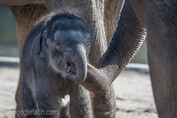 Baby_elephant_Zoo_Cologne_D50_2830