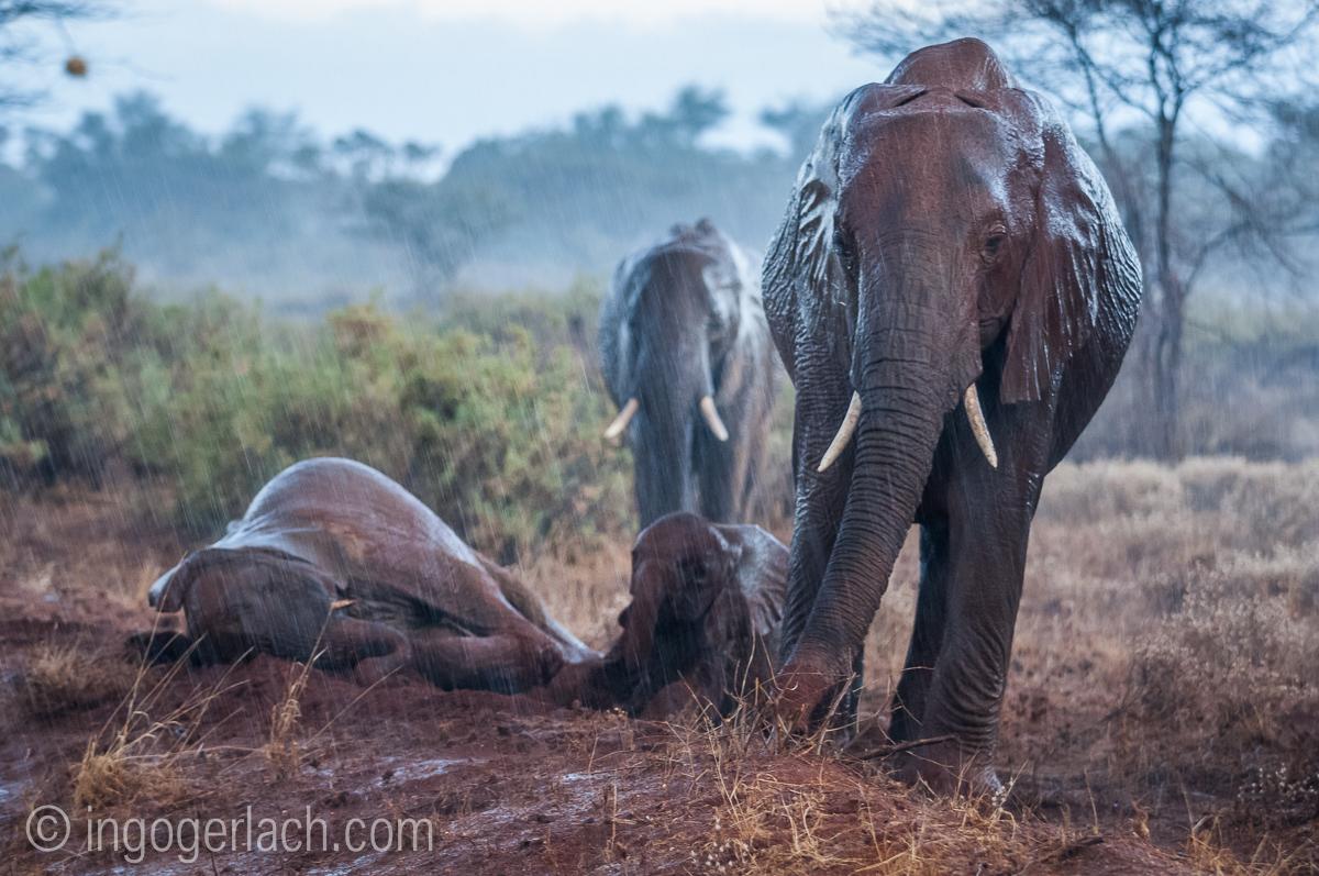 Elefanten im Regen_IGB7665