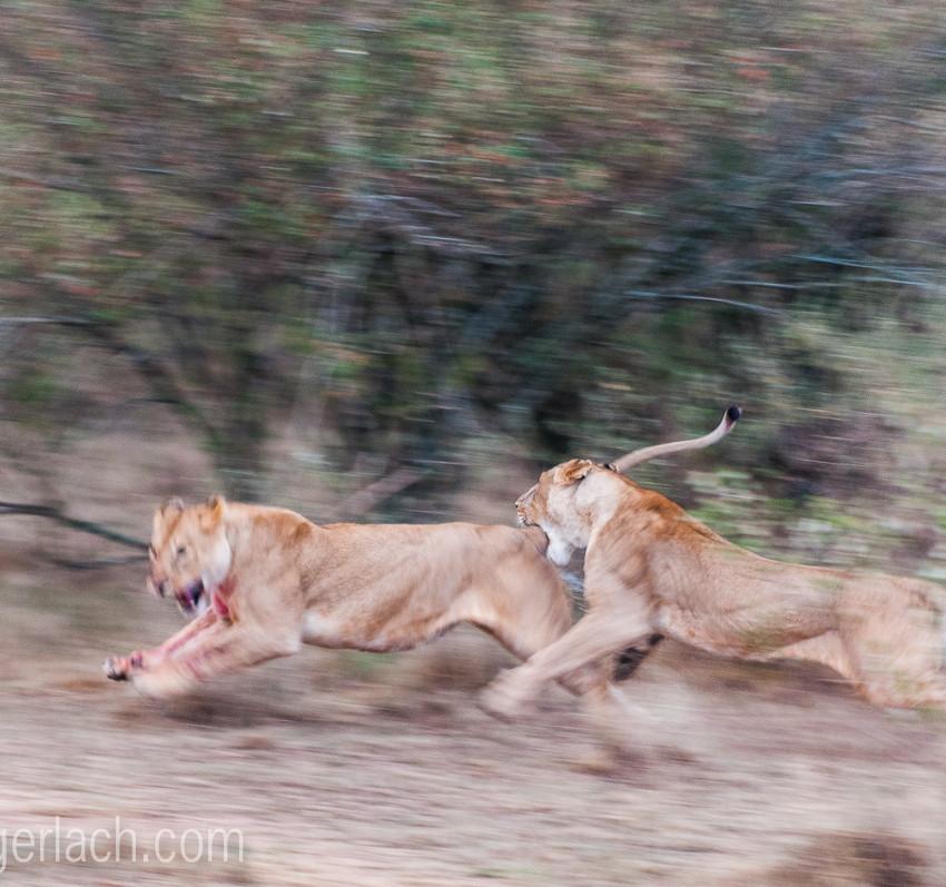 Löwin attackiert Löwin_IGB2605