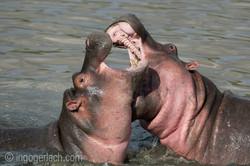 Hippos palavern_D3S7934