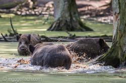 Wildschwein im Wasser_D4N7802