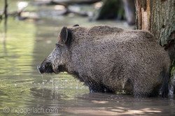 Wildschwein im Wasser_D8N2791