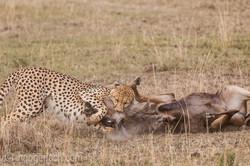 Geparden auf Jagd_IG37612