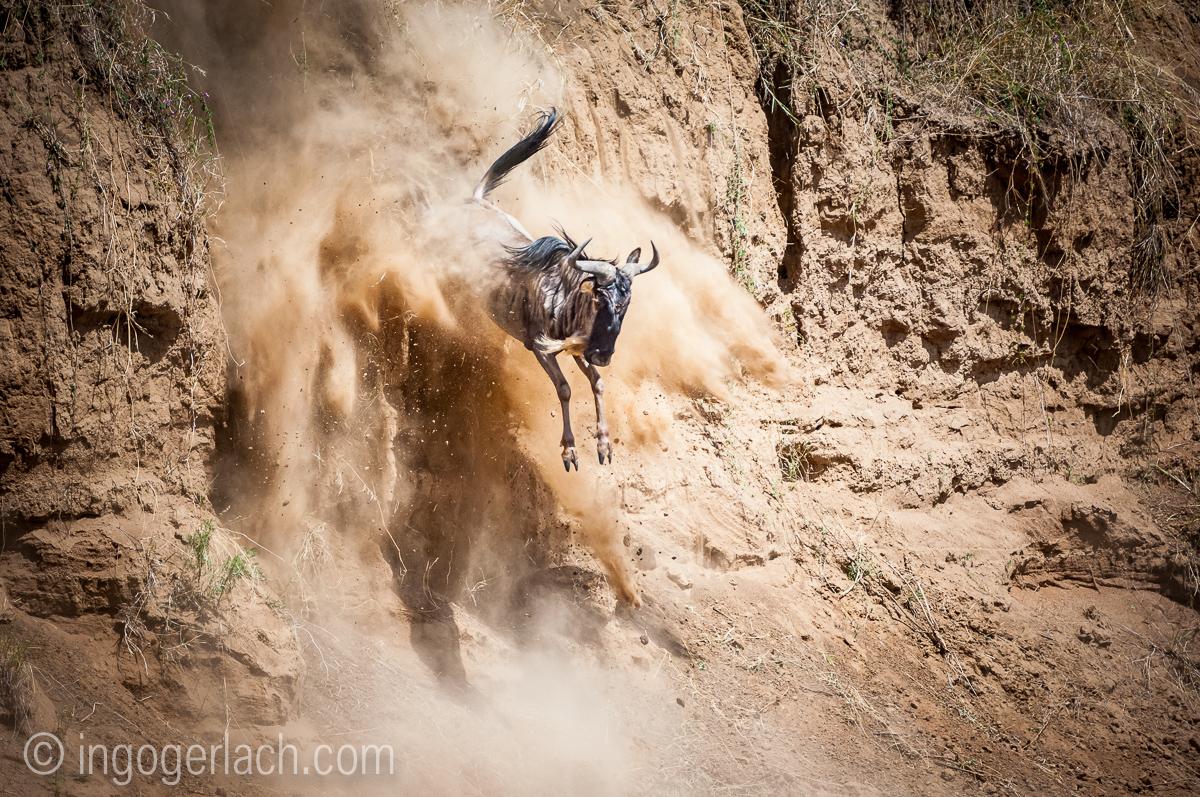 Gnu | Wildebeest_IWG4403-2