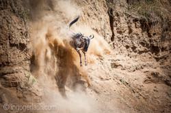 Gnu   Wildebeest_IWG4403-2