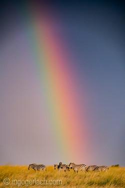 Over the Rainbow_Zebra_D4N_5240
