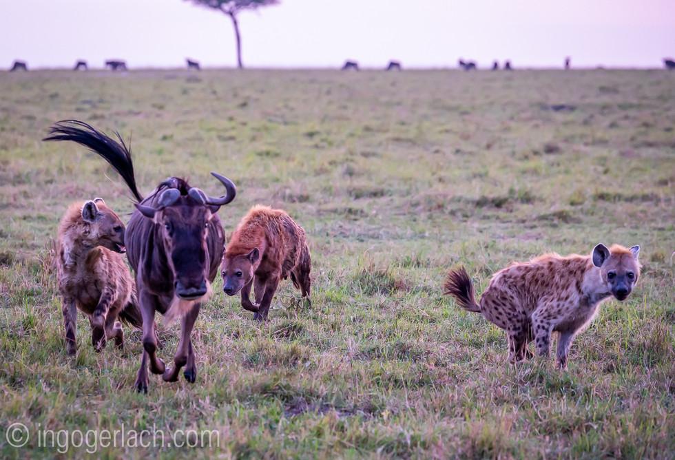 Ein glückliches Gnu – oder der Stärkere gewinnt. A lucky wildebeest - or the stronger one wins.