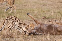 Geparden auf Jagd_IG37613