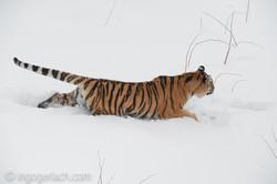 Sibirischer Tiger_IG34706
