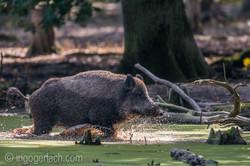 Wildschwein im Wasser_D8N2939