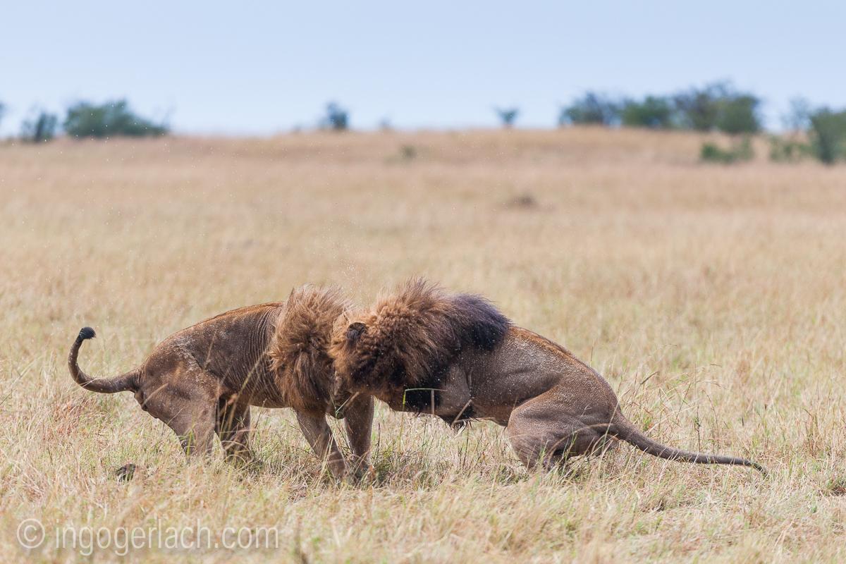 Löwen: Kampf der Giganten_D3X8136