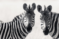Zebras in black & white...
