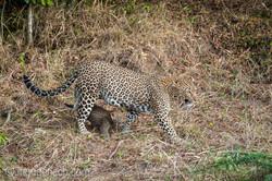 Mama Leopard mit ihren Babys_IG35648