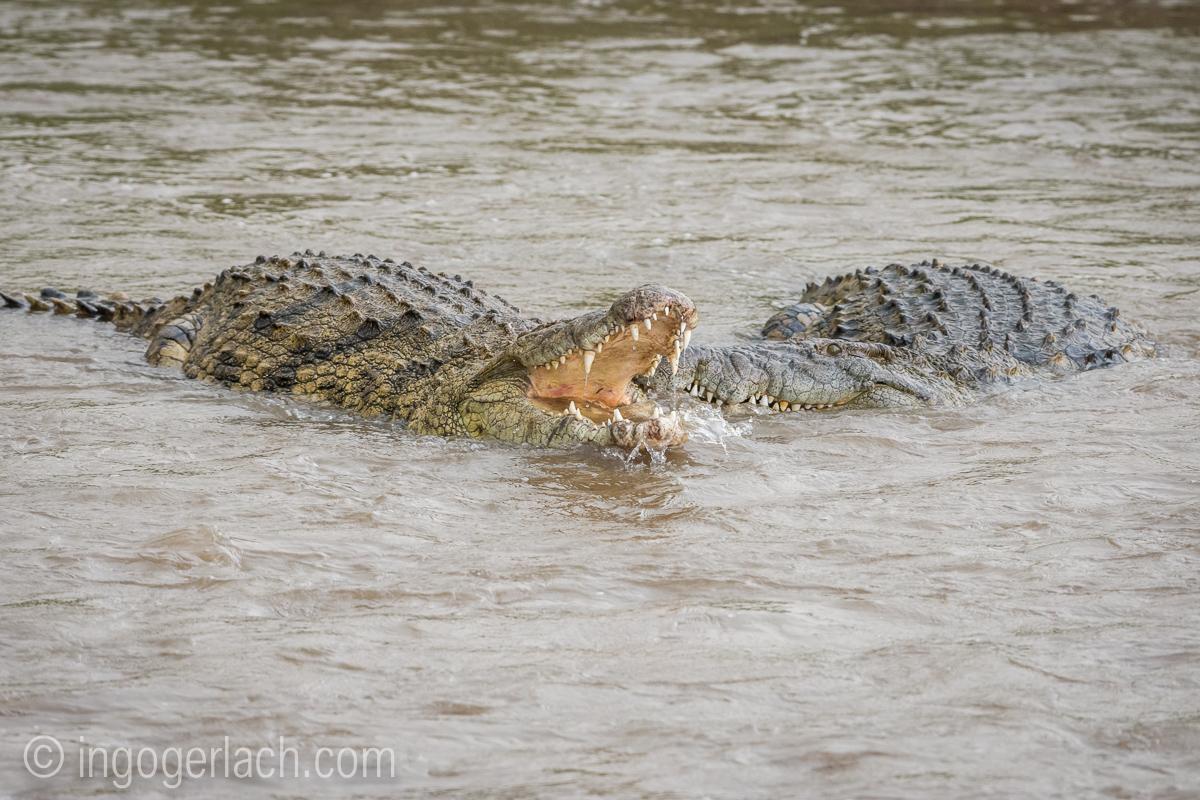 Krokodil frisst Zebra_D726868