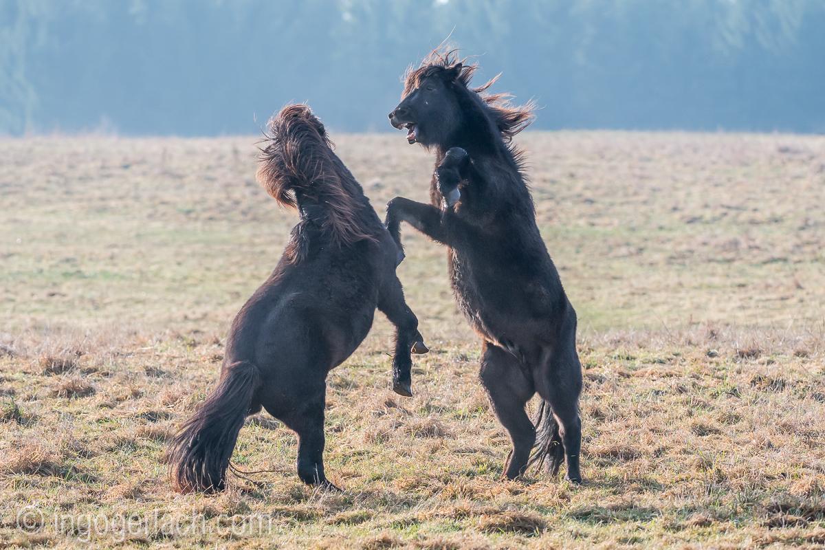 Kampf der Islaender-Hengste_D50_0047