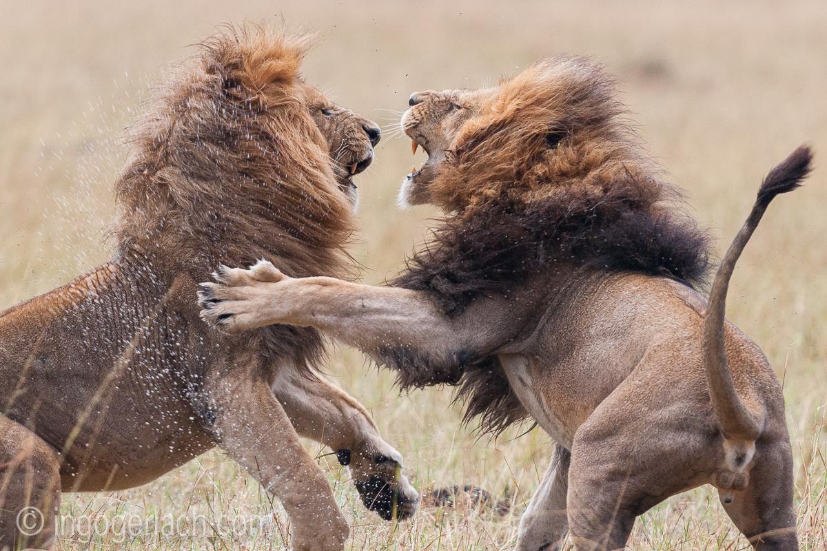 Löwen: Kampf der Giganten_D3X8133-2