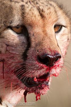 Geparden auf Jagd_IG37761