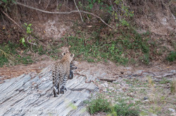 Mama Leopard mit ihren Babys_IG31280