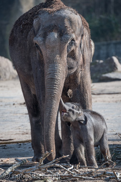 Baby_elephant_Zoo_Cologne_D50_2722