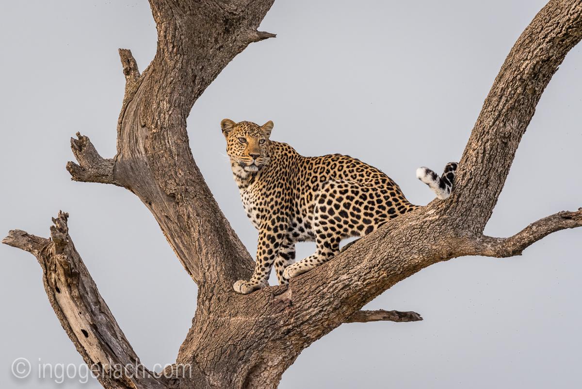 Leopard_IG7_3379