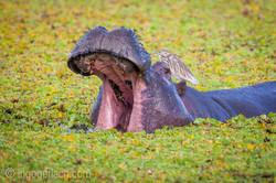 Flusspferd im Salat_IWG0076