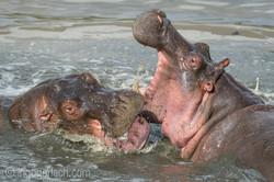 Hippos palavern_D3S7888