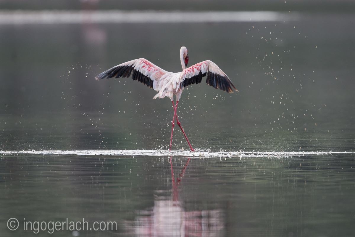 Marabu vs Flamingo_D722022