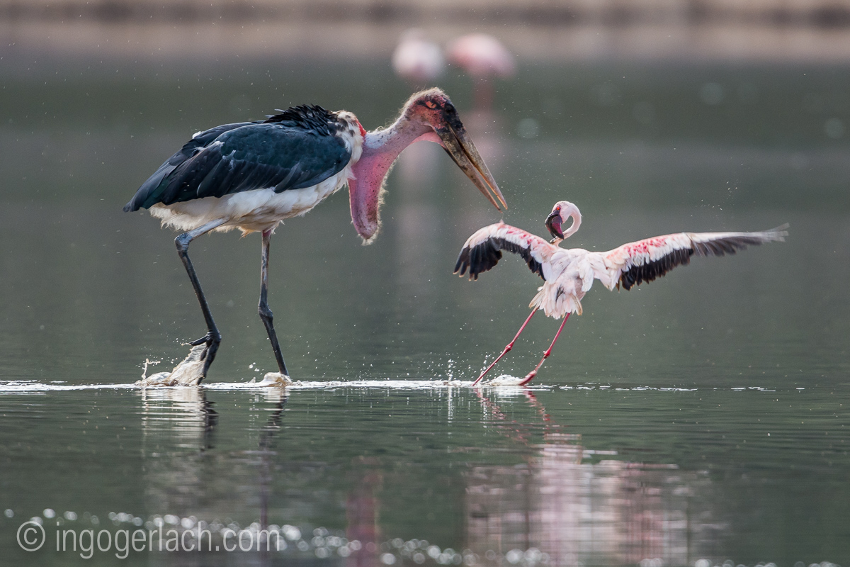 Marabu vs Flamingo_D722038