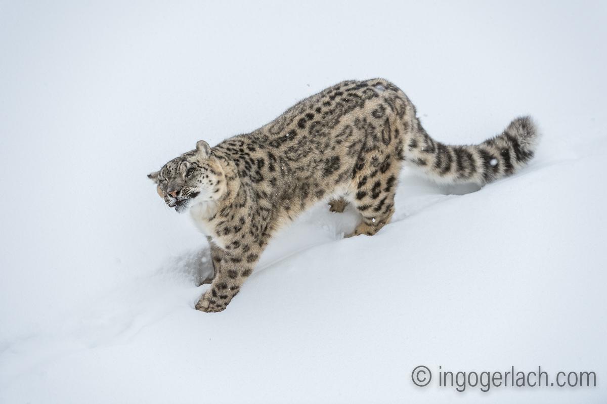 Schneeleopard_Snowleopard_D4N_6363
