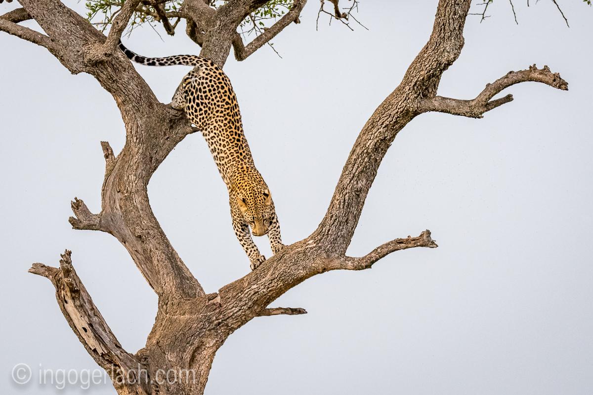 Leopard_IG7_3468