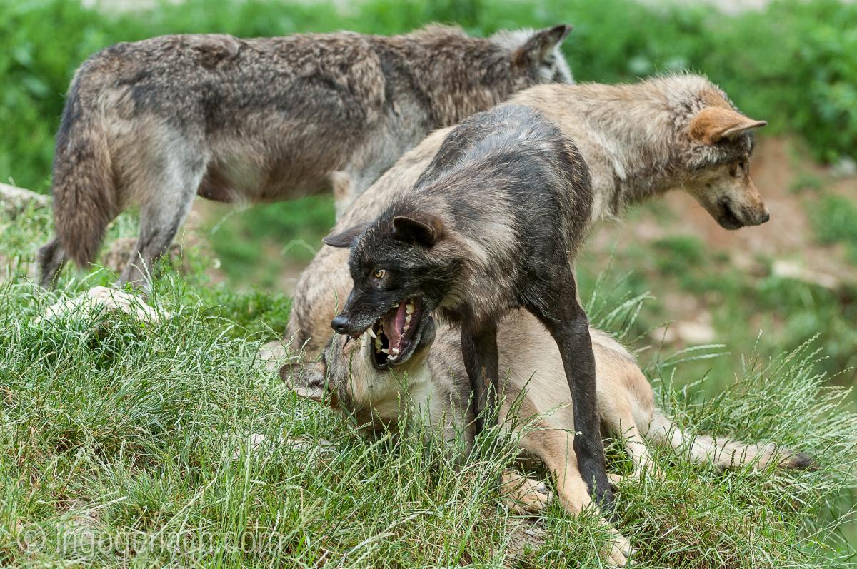 Timberwolf und Grauwolf_IGB7999
