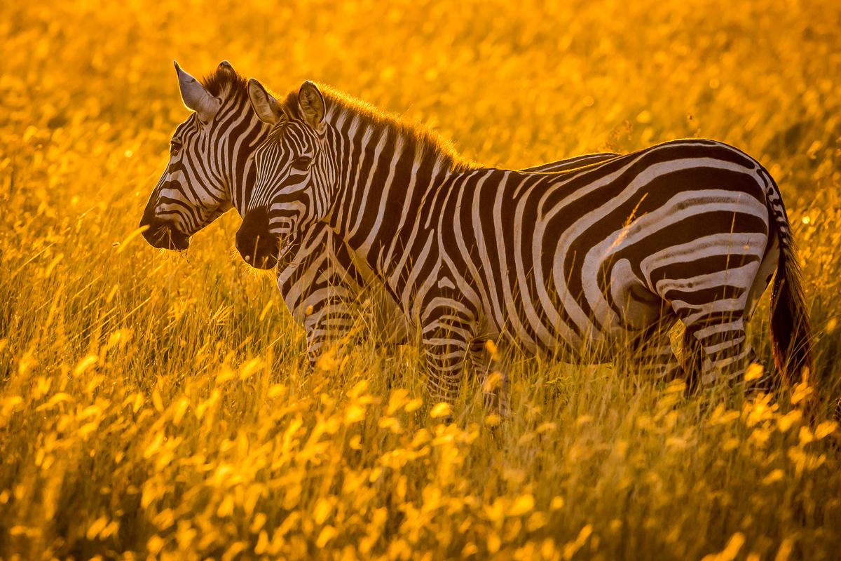Zebras © Ingo Gerlach_D725991