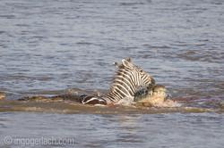 Krokodil killt Zebra__D725258