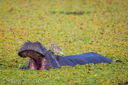 Flusspferd im Salat_IWG0074