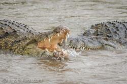 Krokodil frisst Zebra_D726868-2