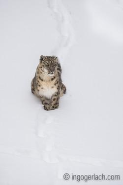 Schneeleopard_Snowleopard_D4N_6317