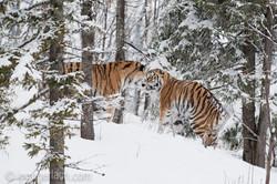 Sibirischer Tiger_IG34783