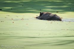 Wildschwein im Wasser_D4N7815
