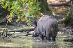 Wildschwein im Wasser_D8N2805