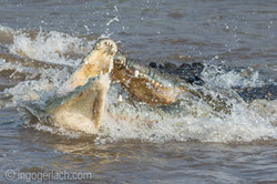 Kämpfende Krokodile_D726652